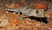 Dec24_2008_Exmouth_Spiny-tailed Gecko_02a copy