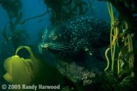 Harbor_Seal