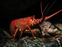 lobster_california_spiny_RCarlson_P6300248